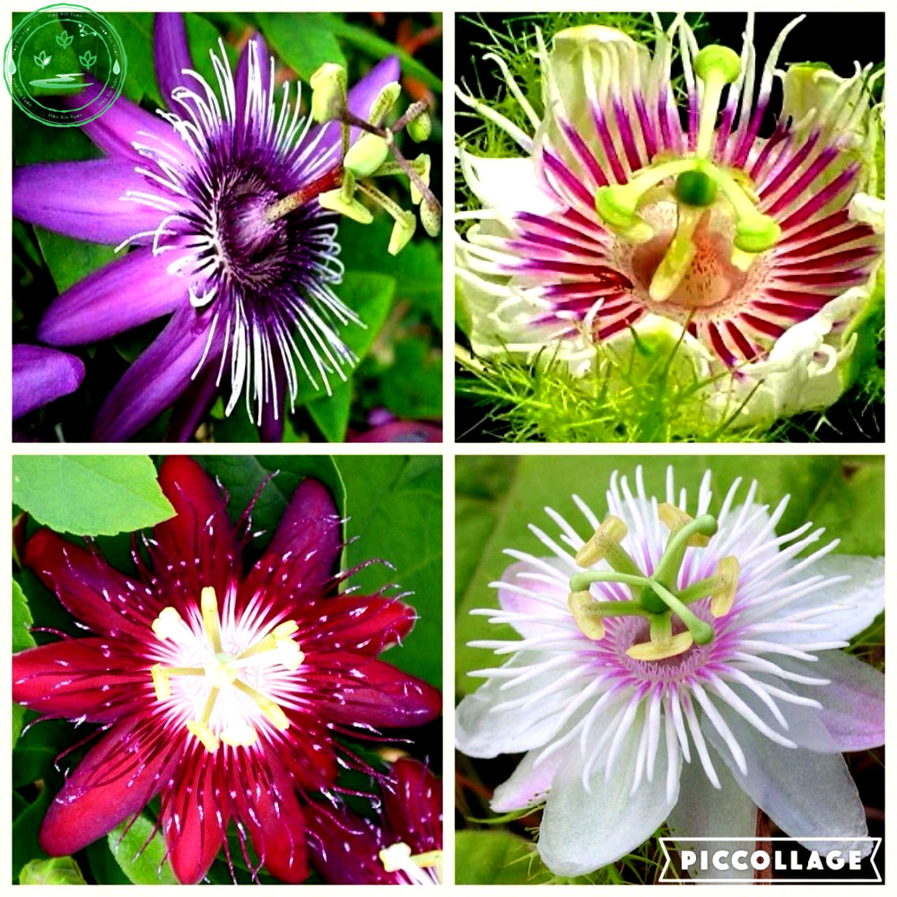 rare fruits passion fruit flower
