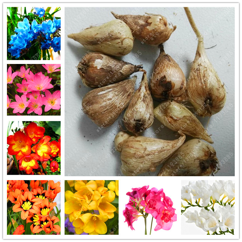 True freesia bulbs flower freesia bonsai flower bulbs Flowers Orchid Freesia Rhizome bulbous flowers, Floral quiet plant - 2 bulb