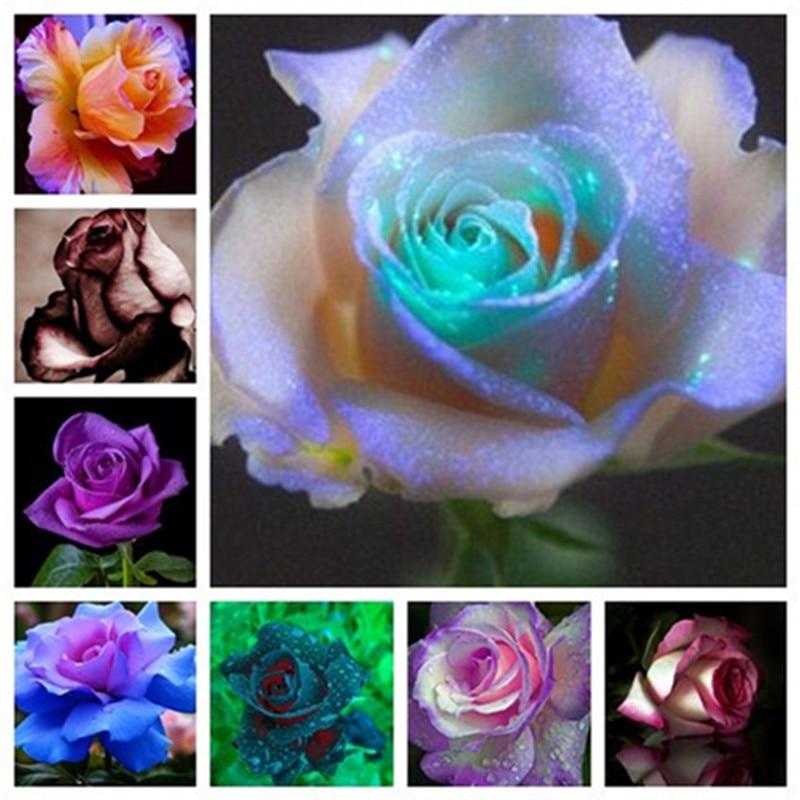 Osiria Rose Gorgeous Flower,Abracadabra Rose Lover Rose Bonsai Planting , Holland Flower,Home & Garden Planting 100
