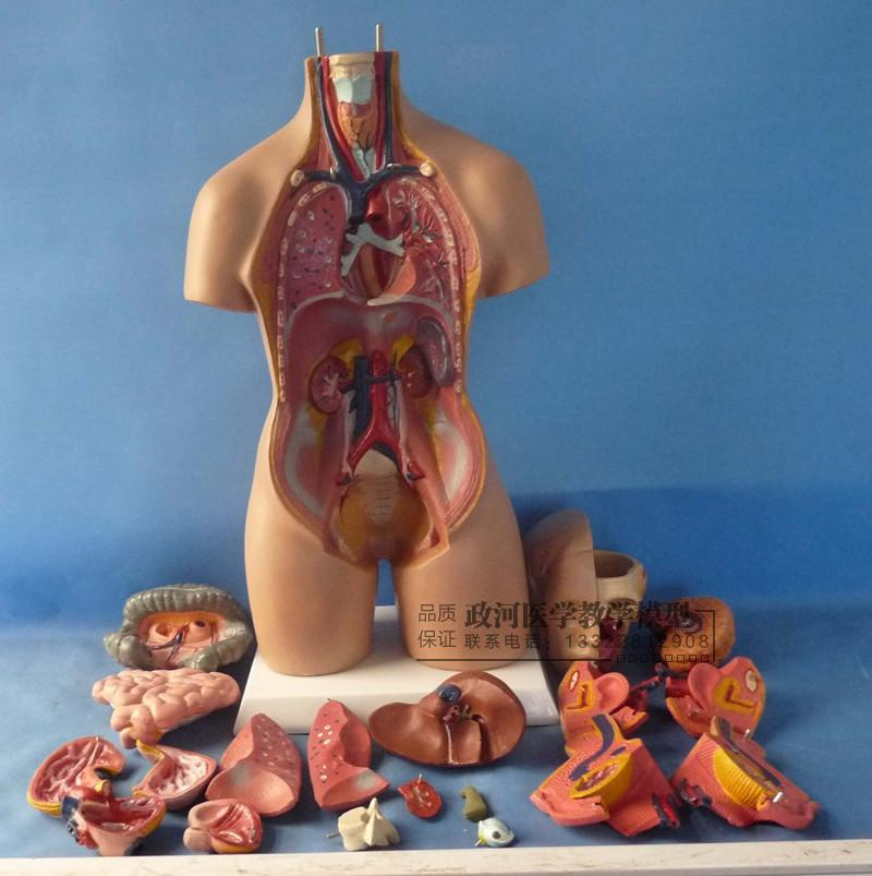 55 cm Zwitter torso modell abnehmbare 19 teile anatomie modell stamm ...