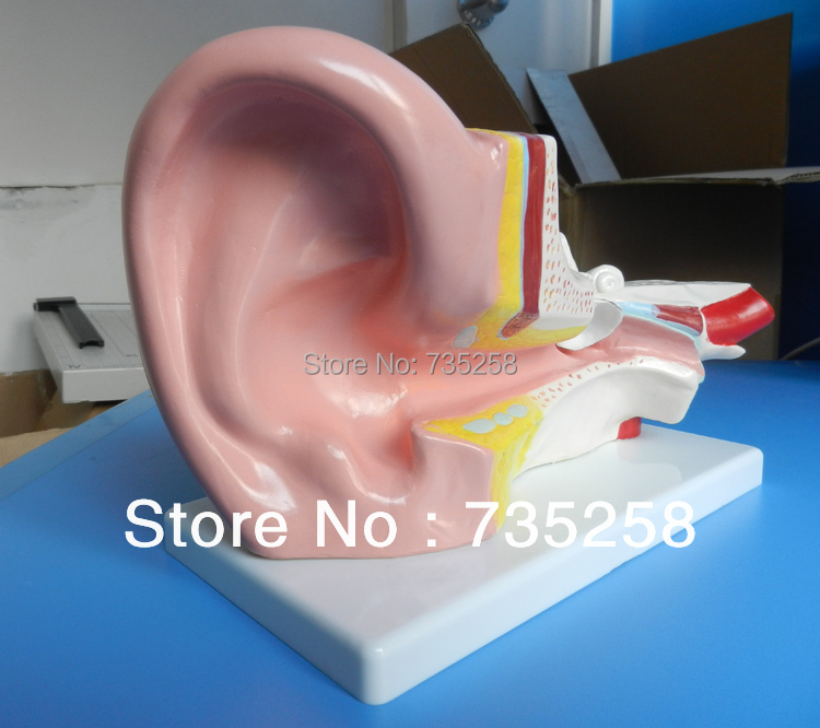 Middle Ear Model,Human ear Anatomy Model ,3 x zoom ear Anatomic Model listening teaching model ear anatomical model anatomy model auricle human ear external ear middle ear inner gasen ebh007