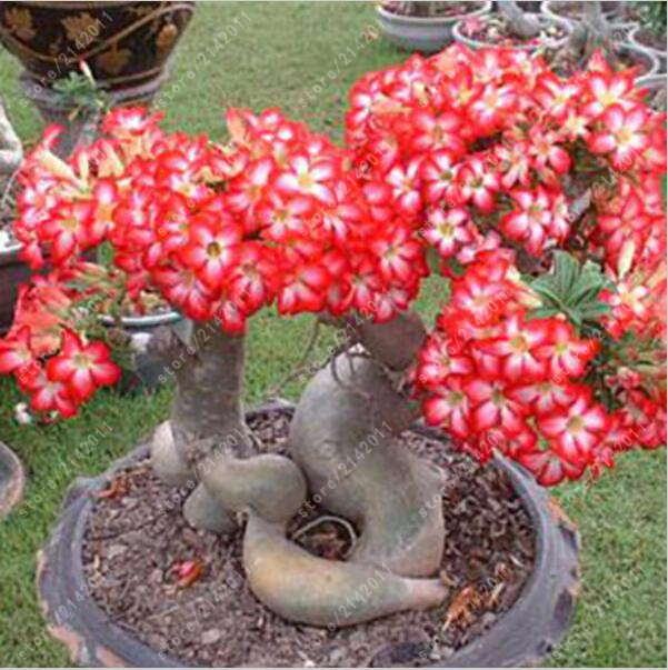 Desert Rose seeds  100% true seed potted plant for home garden