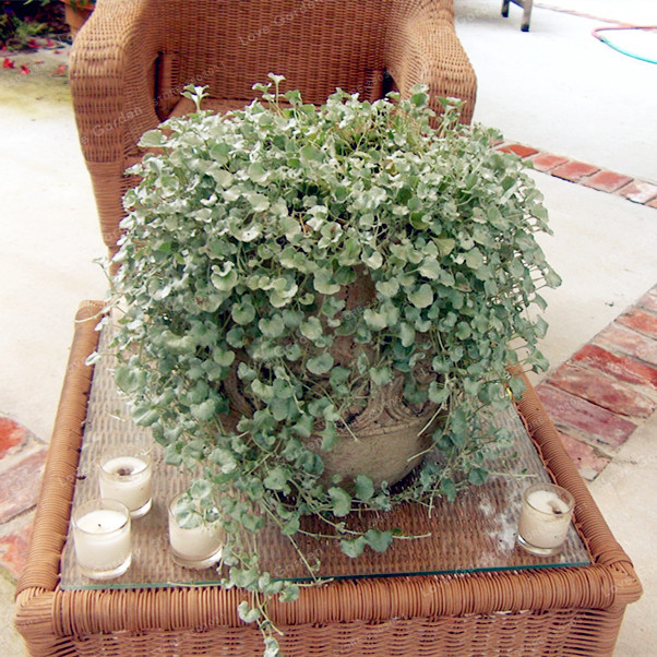 Home & Garden Garden Supplies 50 Dichondra Repens Silver Falls Emerald Falls Ground Cover Bonsai In Hanging Baskets Very Creative Beautiful Potted Plants