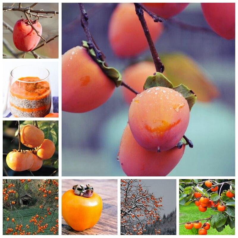 10 Pcs Persimmon Plant Succulent Plants Non-GMO Fruit Trees Full Of Nutrition Home Garden Hardy Plants For Flower Pot Planters