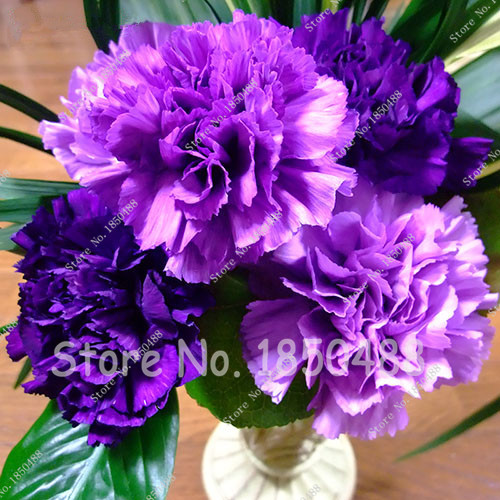 violet color mezclado clavel semillas de flores hermosas flores preciosas semillas para el jardn de casa