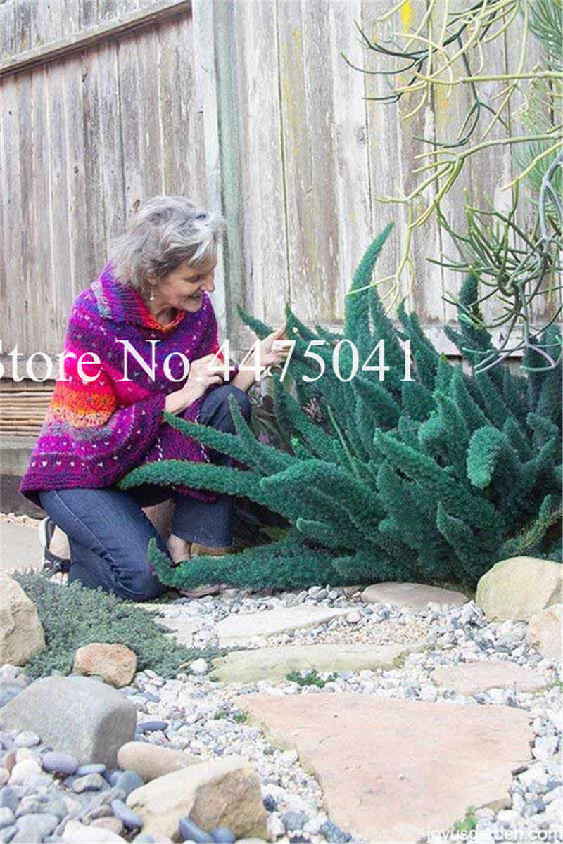 100 ชิ้น Foxtail Fern Bonsai, หายาก Creeper Vines หญ้าผสมใบพืช Bonsai Exotic plant สำหรับกระถางดอกไม้สวน Plan