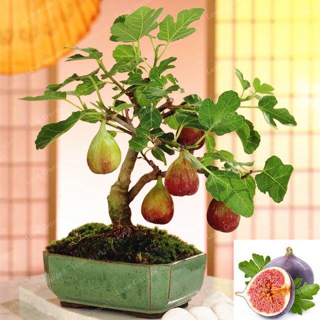 50 قطع نادر الاستوائية التين بونساي مصغرة التين شجرة بونساي النبات بونساي نادر الفاكهة بونساي للمنزل الإنبات زراعة