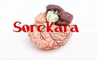 Human Anatomical Mini Brain Dissection Viscera Medical Organ Teach Model School Hospital