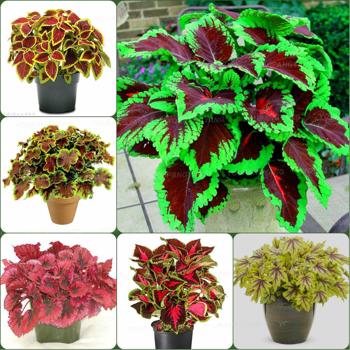 100 sztuk Bonsai Coleus liści rośliny idealny kolor łuku-smok piękny kwiat roślin ogród Semente
