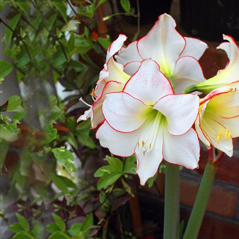 Unique White Colors Hippeastrum Flowers Seeds DIY Home Garden Plants Japanese Barbadoslily Bonsai Pot Plant 50PCS