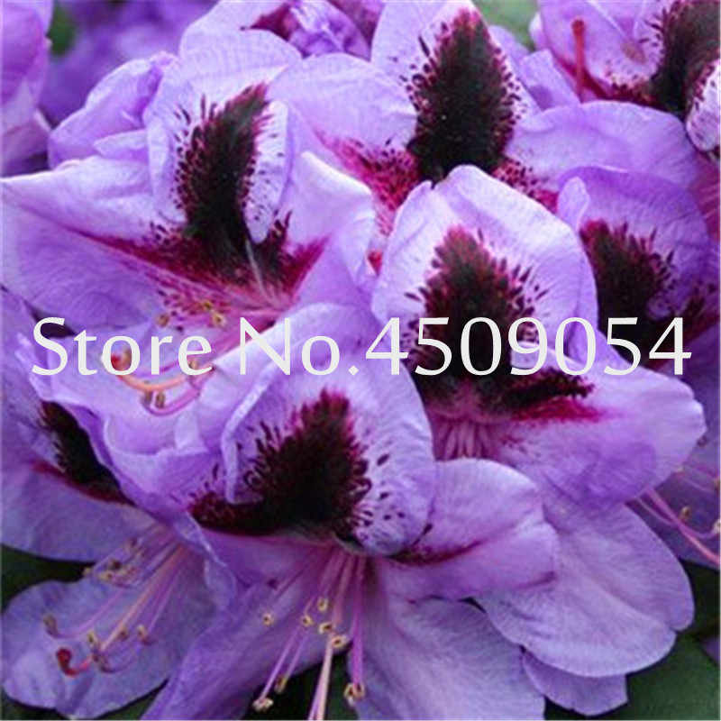 Распродажа! шт./пакет 100 Редкие Рододендрон Азалия бонсай выглядит как Сакура японская Cherry цветет бонсай цветок горшечные растения для сада