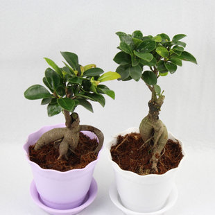 Indoor Flowers Plants Radiation Resistant Bonnyclabber Small Bonsai Office Desk Mini Plant