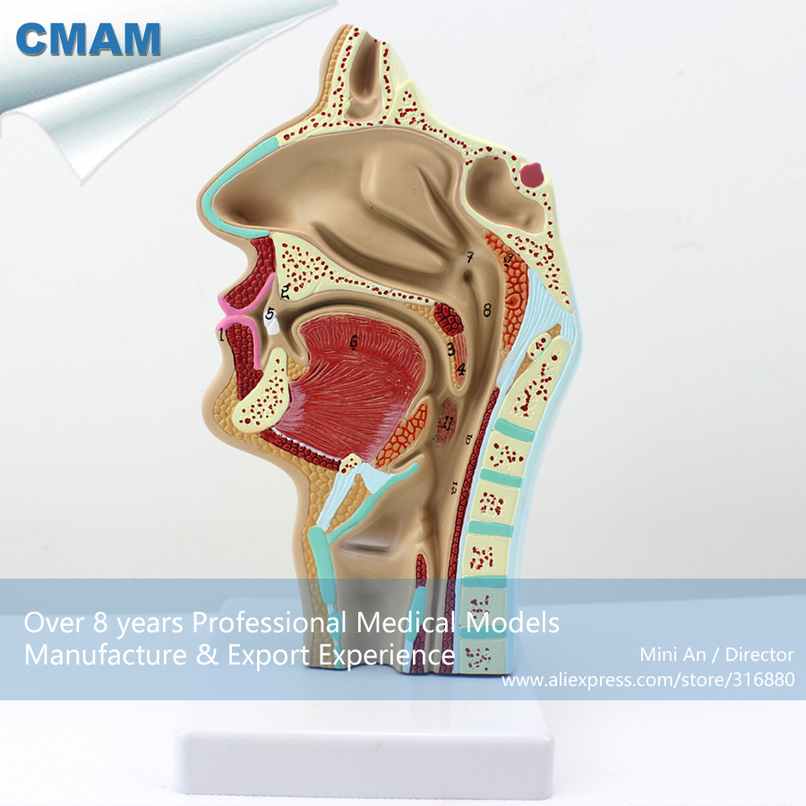 12511 CMAM-THROAT05 Human Nasal Cavity Oral Longitudinal Anatomy Model, Medical Science Educational Teaching Anatomical Models