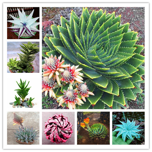 150 Pcs Aloe Vera Succulent Lucky Indoor Bonsai Pot Plant