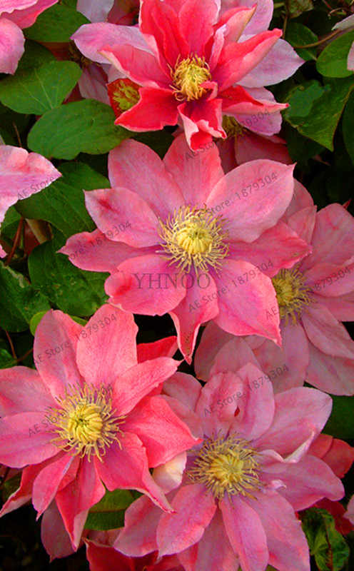 100 Clematis Bonsai Montana Mayleen Garden Pink Vine Flowers Plant Flores Vines Climbing
