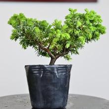 20 pcs Japanese juniper bonsai tree potted flowers office bonsai purify the air DIY home garden plant