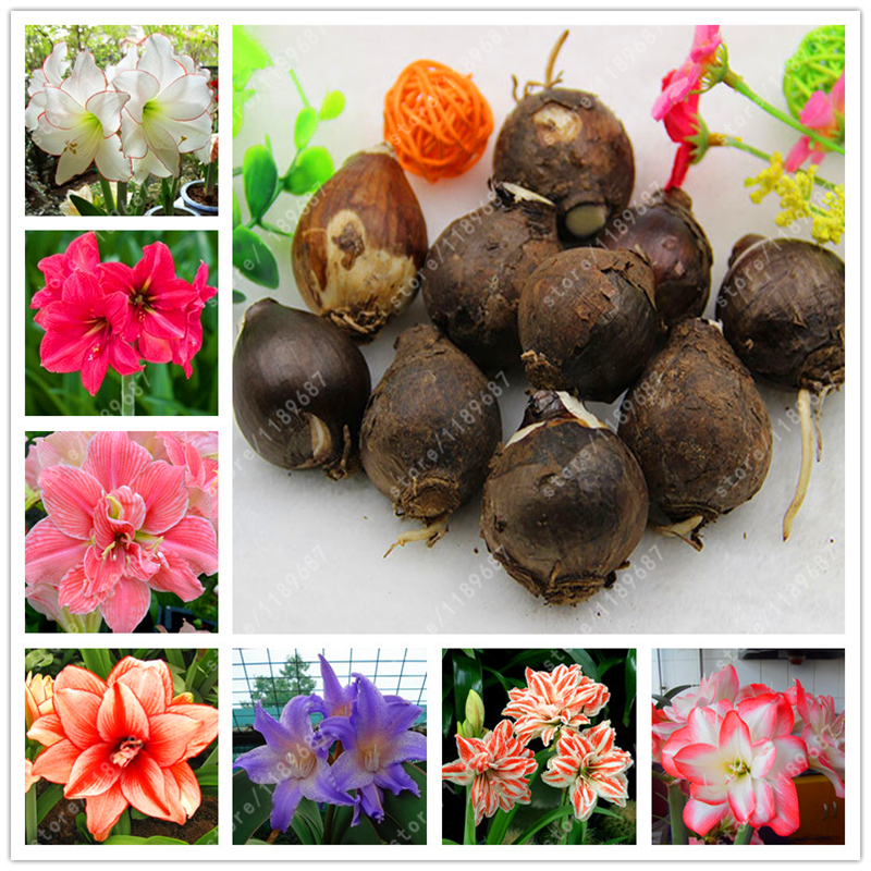 True Amaryllis Bulbs, Hippeastrum Bulbs bonsai flower bulbs Amarilis Rizomas Bulbos Barbados Lily potted garden plant - 1 bulb
