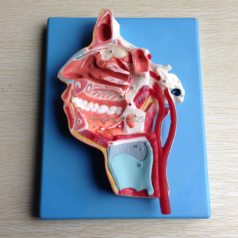 Mouth, Nose, Pharynx and Larynx with Vessels and Nerves Model,Facial Anatomical Model цены
