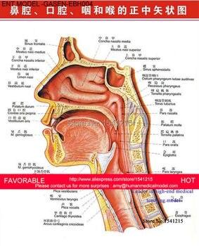 Modelo Anatómico Nasal Modelo Anatómico Nasal De Ent Modelo De Estructura De Cavidad Nasal De