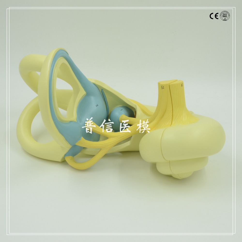 DongYun brand Human ear labyrinth anatomica model,cochlea model Medical organs teaching supplies 1:18 dongyun brand human kidney anatomical model urinary system medical science teaching supplies