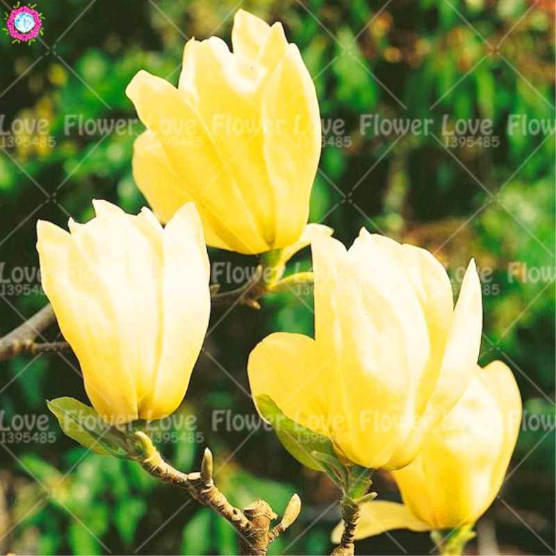 Detail Feedback Questions About 10pcs Rare Yellow Magnolia Flower