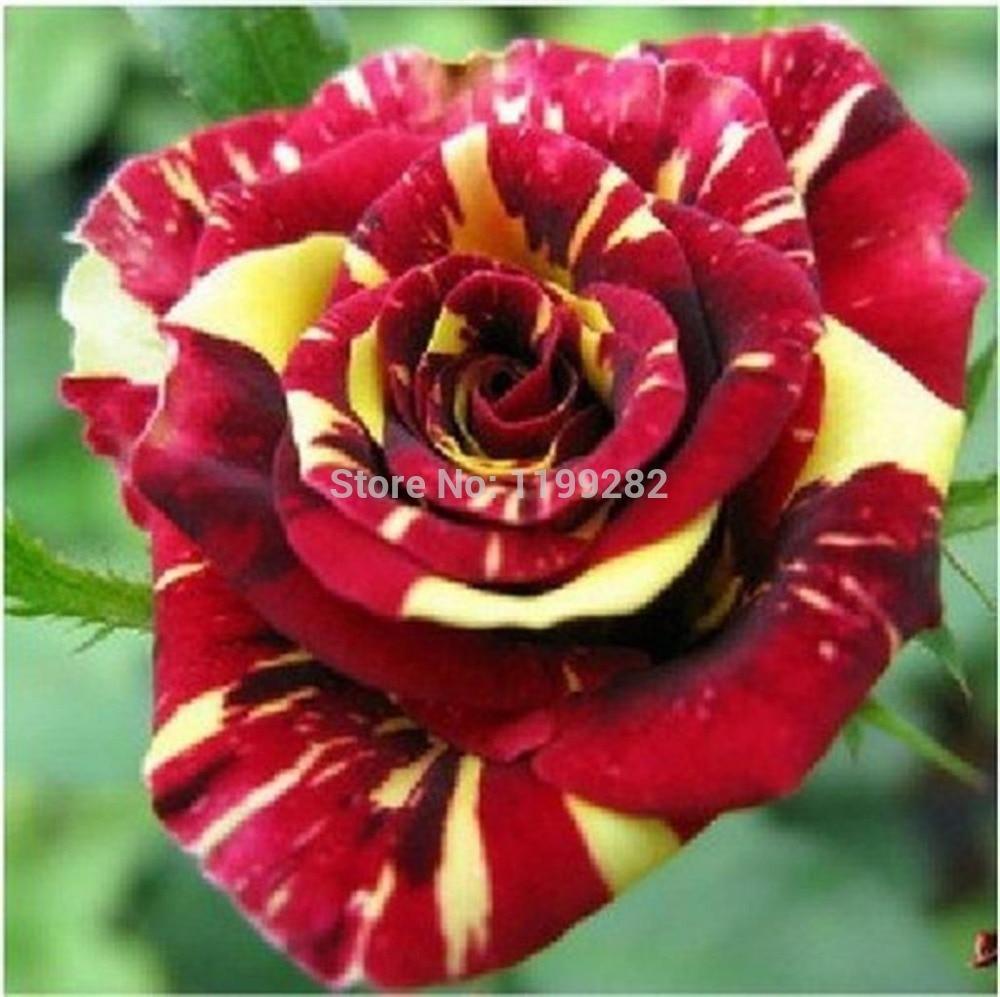 Super-affordable! 200 SEEDS - 100% Genuine Fresh Rare Meteor Shower ROSE Seeds - Bonsai Flower Plant Seeds * Free Shipping