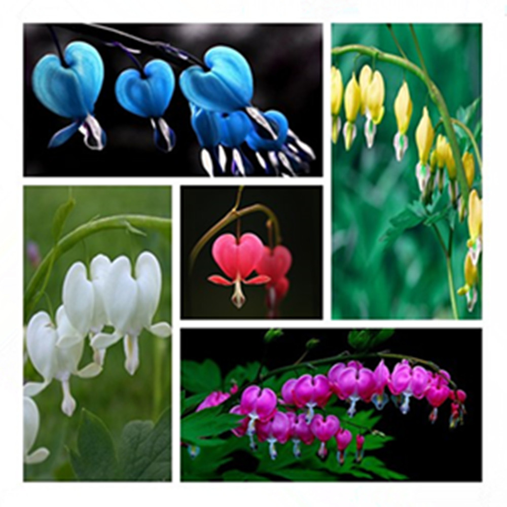 100 Dicentra Spectabilis seeds Bleeding Heart classic cottage garden plant, heart-shaped flowers in spring, ferny foliage