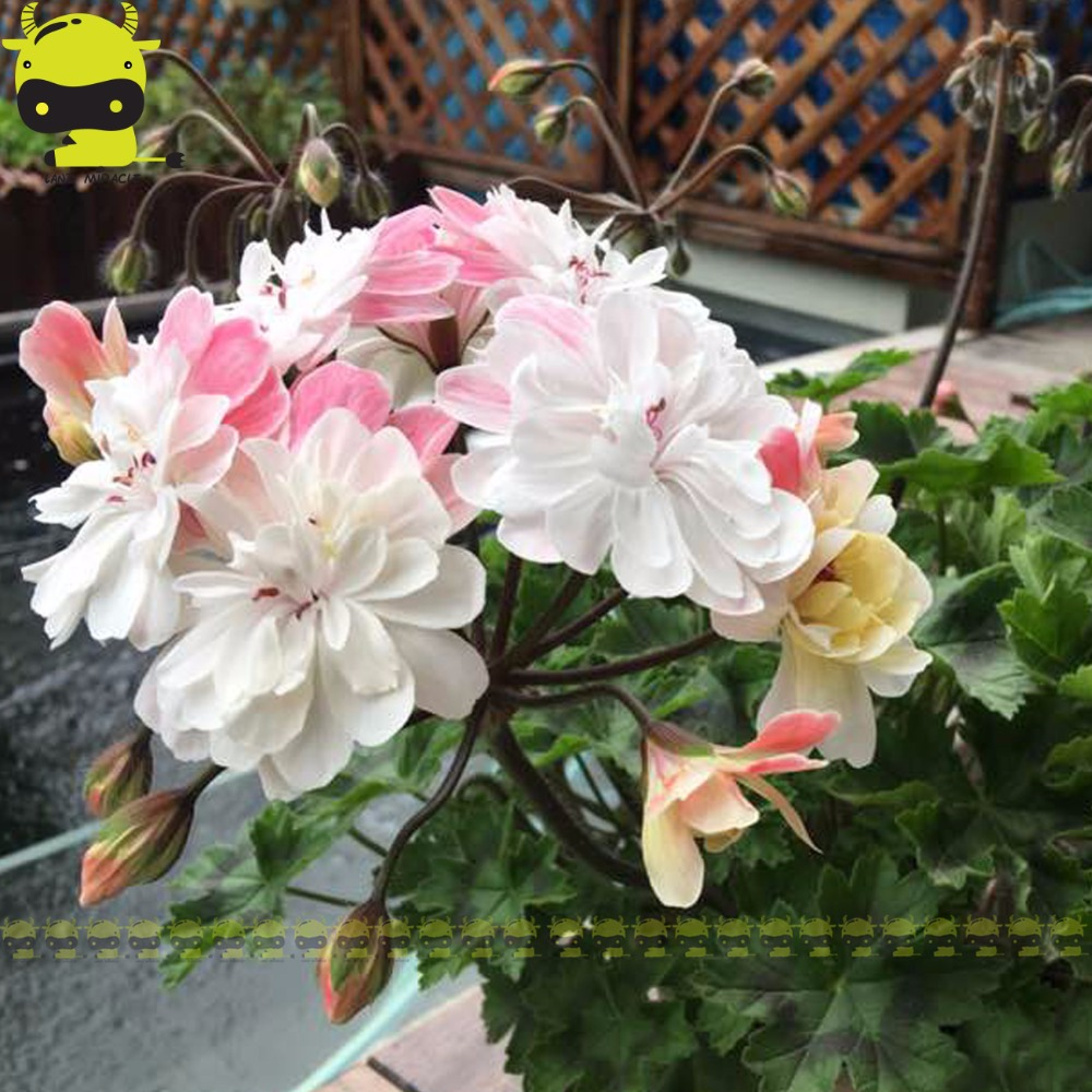 5 Pcs Big Blooming Rose Geranium Seeds Rare Bonsai Pelargonium