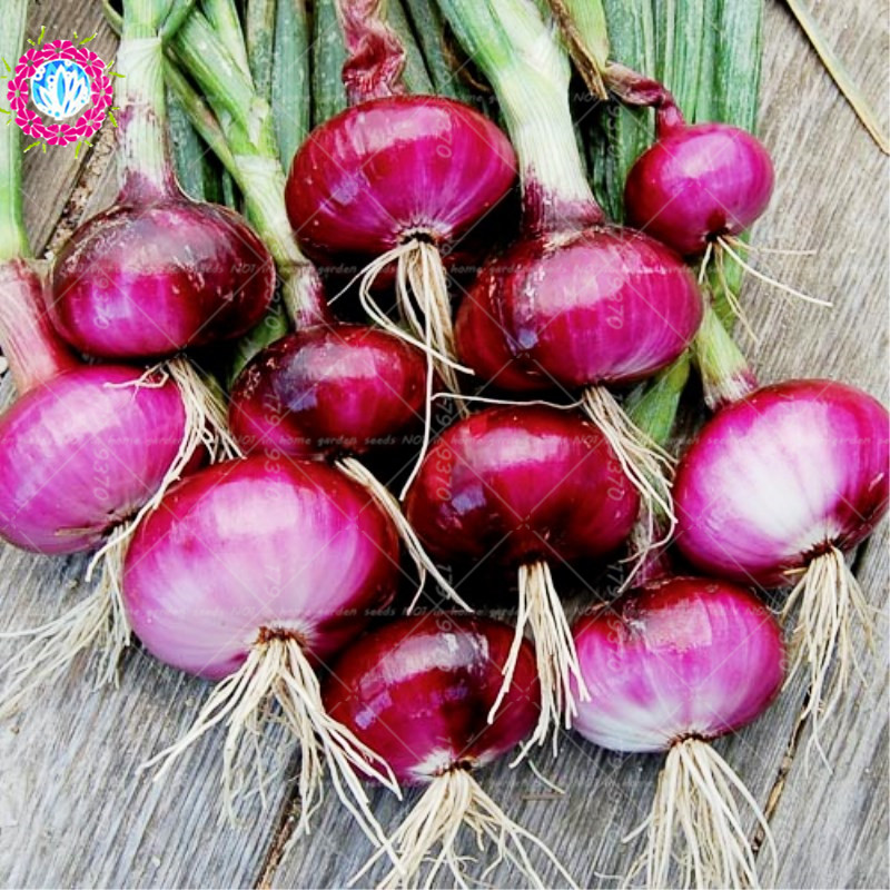 Garden Supplies Considerate 100 Pcs/bag Bonsai Fresh Giant Red&purple Onion Vegetable 95% High Germination Vegetable For Home Garden Planting