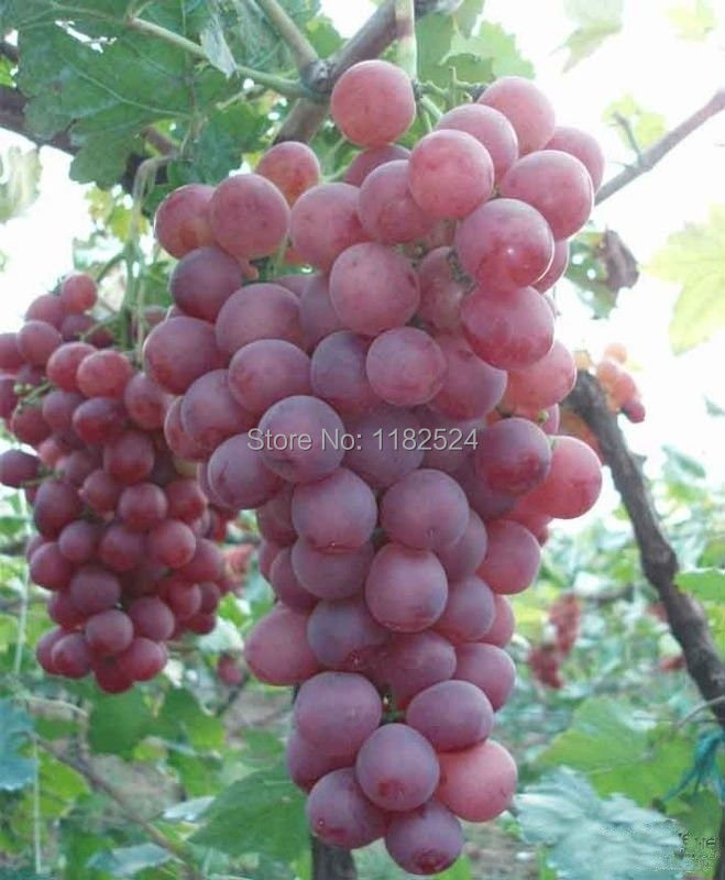 виноград красный шар описание сорта фото