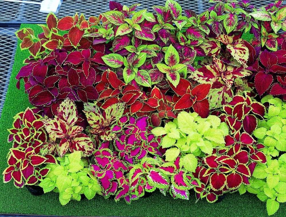 100pcs Big Selling Rainbow Leaf Plant Colorful Leaf Grass Coleus Bonsai Flower Cold Tolerant Pot Plants Free Shipping