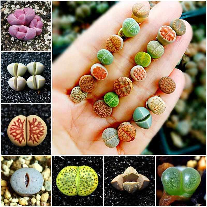 50 Pcs/bag Campuran Lithops Langka Mini Succulent Bonsai Pantat Bunga Bonsai Pseudotruncatella Hidup Batu Bonsai Mini Garden Tanaman