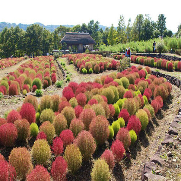 300 Pcs Seeds Perennial Grass Burning Bush Kochia Scoparia Red