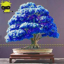 Rare Purple Blue Ghost Japanese Maple Tree, (Acer Palatum), bonsai flower tree plant for home garden - 10PCS(China)