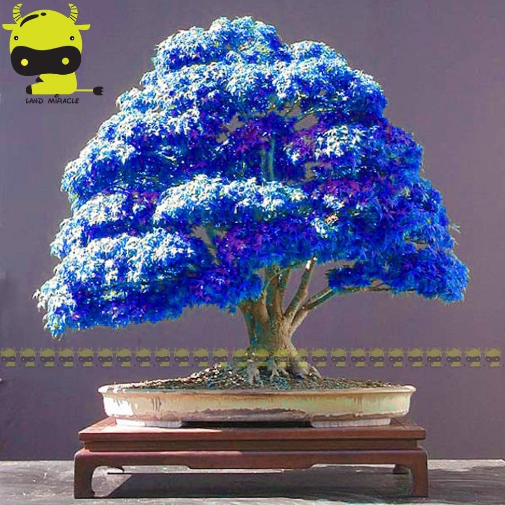 Rare Purple Blue Ghost Japanese Maple Tree, (Acer Palatum), bonsai flower tree plant for home garden - 10PCS