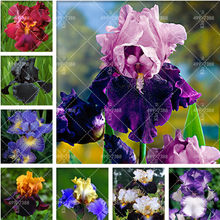 100 pcs Bonsai Bearded Iris Flower Rare Orchid Seedsflower Bonzai Potted Plants Orquideas Flore Seedsplant DIY Garden Decoration(China)