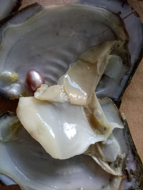 10pcs Freshwater Vacuum Pack Wrapped Oyster Wish Pearls Mussel Shell With Different Color Pearl Inside