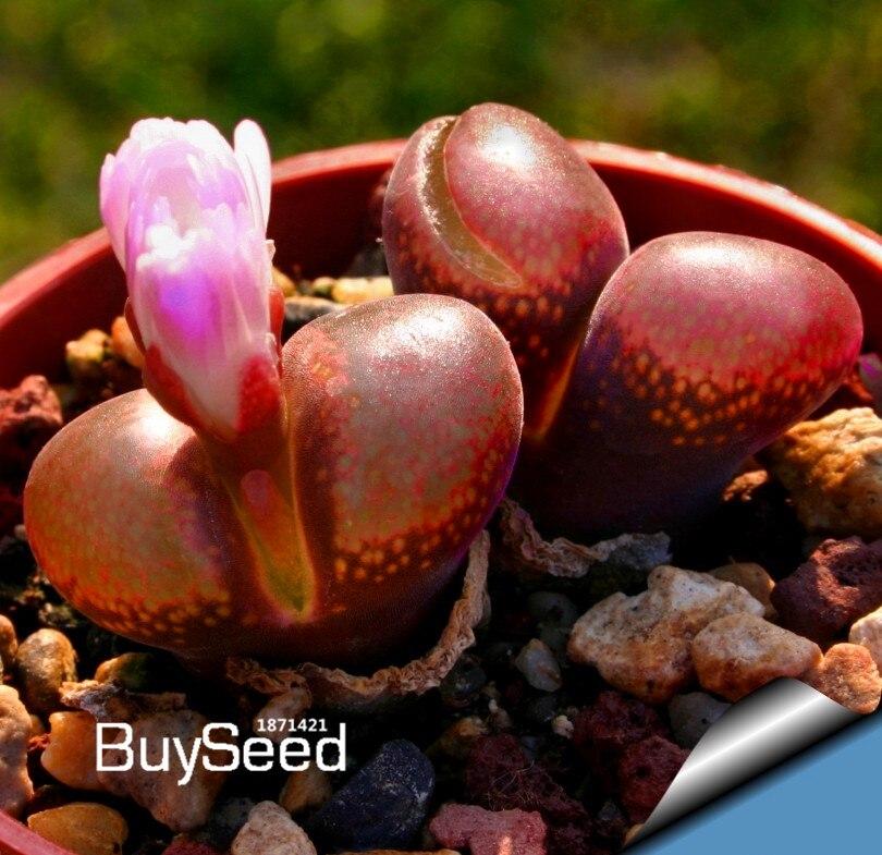Ncient 50 Semillas de Uva de Multi Colores Semillas de Frutas para Huertos Semillas Flores Raras Plantas Bonsai para Jard/ín Balcon Interior y Exteriores