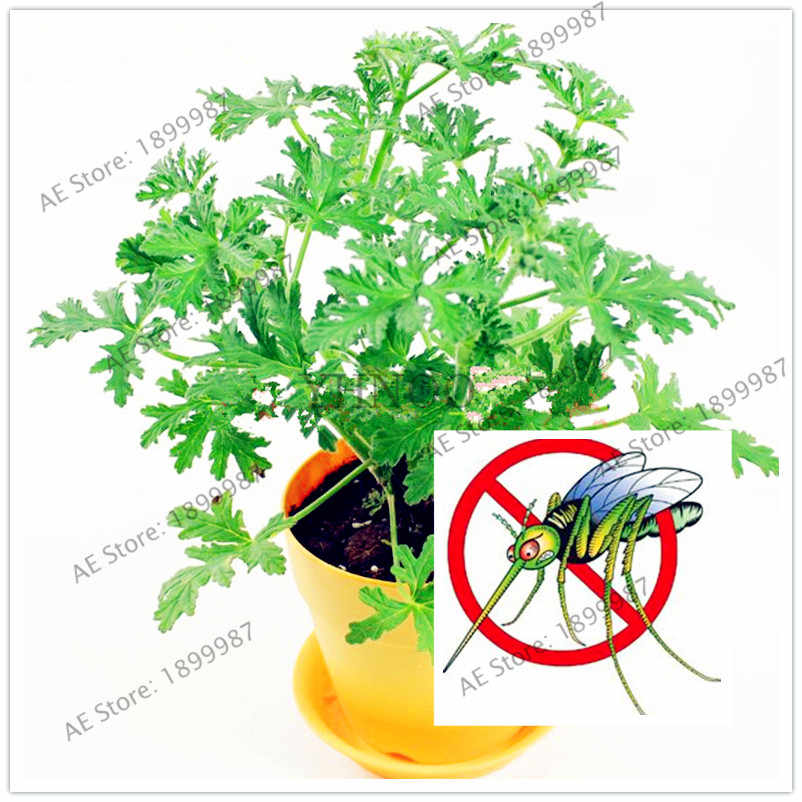 100pcs/bag Mosquito Repelling Grass flores,Bonsai Plant for Home Garden, Easy planting Indoor Plant