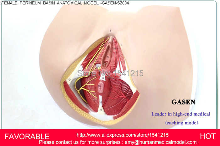 FEMALE REPRODUCTIVE VAGINAL MODEL GENITAL MODEL,MEDICAL REPRODUCTIVE MODEL ANATOMY OF FEMALE PERINEUM MODEL-GASEN-SZ004 anatomy of a disappearance