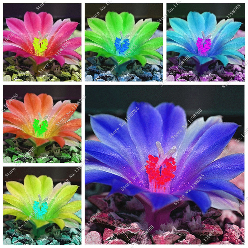 50 Pcs Rare Lithops Seeds Living Stones Succulent Cactus Organic Garden Bonsai Balcony Flower Seeds for Home Plant Mixed Color