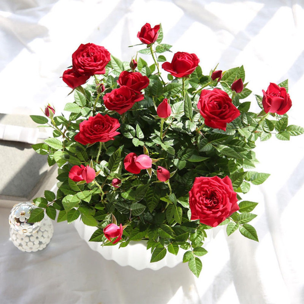 Gorgeous Red Rose Bonsai In Stock DIY Garden Rare Seeds Plants 100 Pcs Cheap