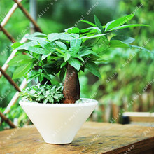 Buy chinese money plant and get free shipping on AliExpress.com on chinese perfume plant, coin plant, chinese dollar plant, chinese lucky plants, chinese people plant, chinese fringe plant, chinese coin tree, chinese plants and trees, chinese palm plant, chinese bamboo plant, chinese bamboo tree, chinese new year good luck plant, chinese house plants, chinese jasmine plant, chinese dragon plant, calathea ornata plant, chinese good luck money plant, chinese fern plant, chinese good luck tree, lucky money plant,