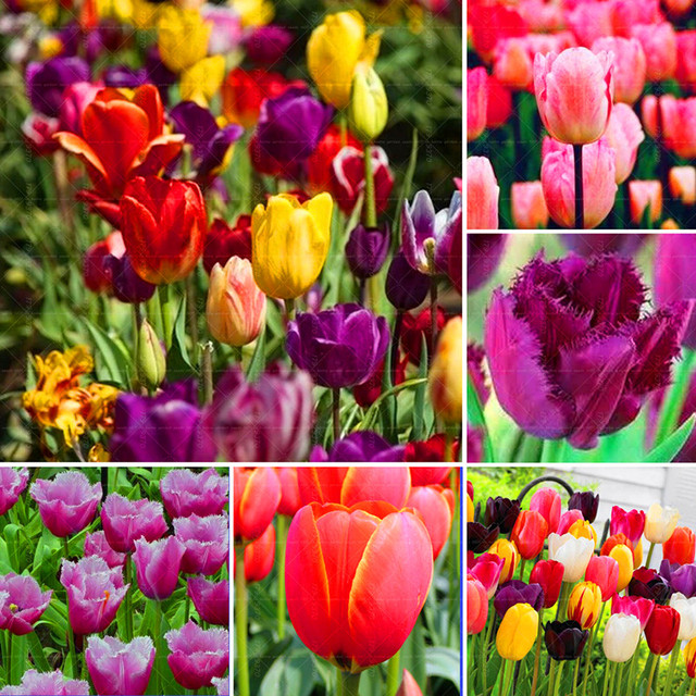 Hot sale!!Rare Tulip Bulb,Free shipping cheap perfume  Tulip Bulb, mixing different color - 2  Tulip Bulb