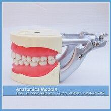 ED-DH108 Soft Gum 32pcs Teeth Standard Jaw Model, Medical Science Educational Dental Teaching Models
