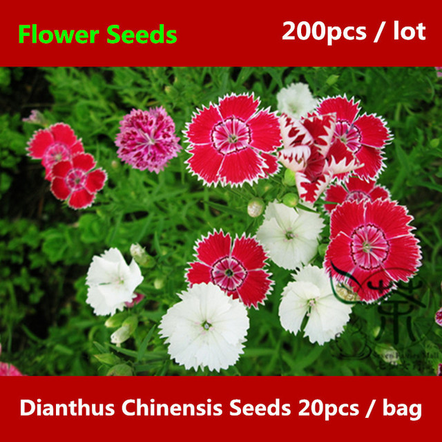Perennial dianthus chinensis for planting 200pcs rainbow pink perennial dianthus chinensis for planting 200pcs rainbow pink mightylinksfo