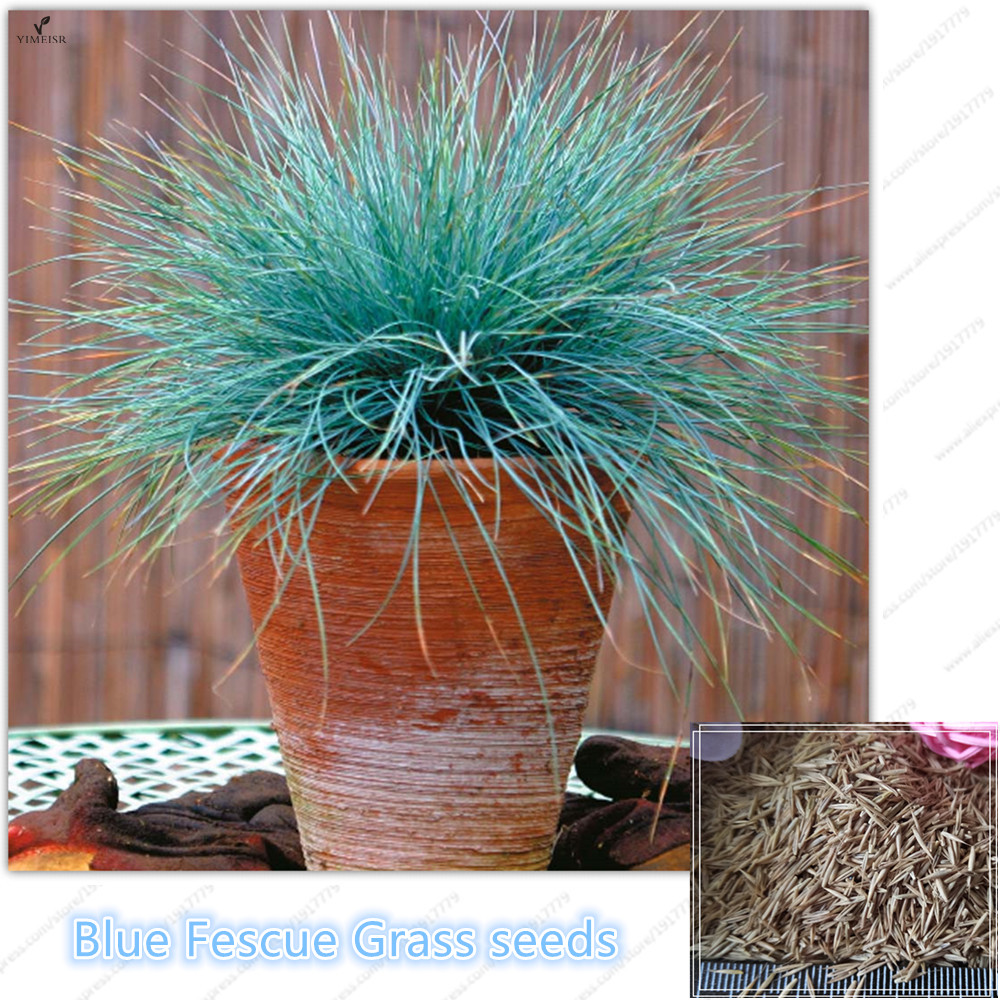 Buy blue fescue grass festuca glauca for Blue ornamental grass plants