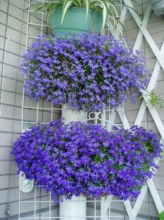 Sky Blue Lobelia Regatta Lobelia Erinus Flower Seed Plant Seed High