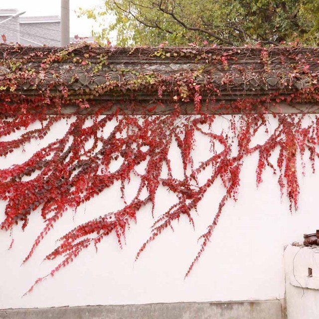 Rare Red Ivy Seeds, Climbing Plants Potted Seeds, 100pcs/pack