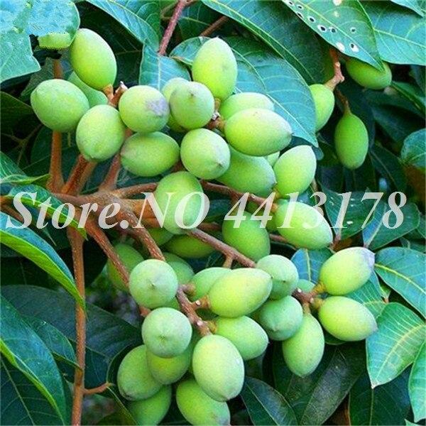 hinese_White_Olive_Fruit_Tree_Seeds_Online_Plant_Green_Olive_Tree_For_Canarium_Album_Gan_Lan__3_